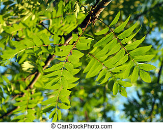 The leaves of mountain ash