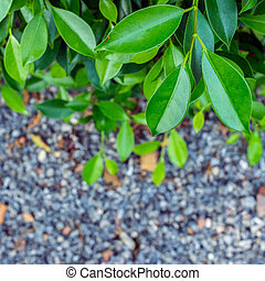 banyan tree - The leaves of the banyan tree concept is used...