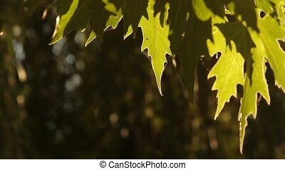 The leaves of trees in the cobweb. - Foliage sycamore tree...