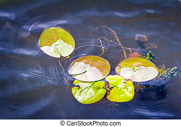 The leaves of water lilies on the water in the river.
