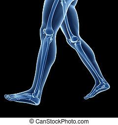 The leg bones - 3d rendered illustration of the leg bones