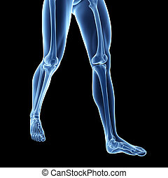 The leg bones - 3d rendered illustration of the leg bones