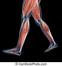 The leg muscles - 3d rendered illustration of the leg...