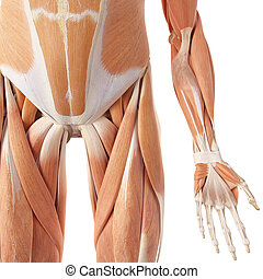 The leg muscles