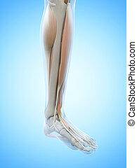 The leg muscles - Anatomy illustration showing the leg...