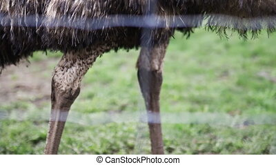The thin legs of a big emu standing perfectly still on the grass behind a wire fence at a farmyard