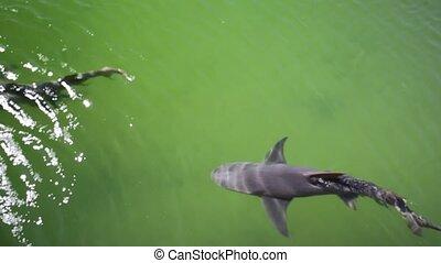 the Lemon Sharks - Aerial view of lemon sharks swimming in...
