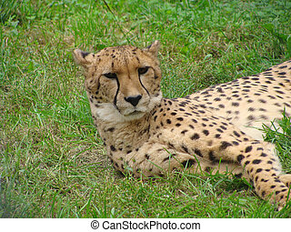 the leopard lying in the grass