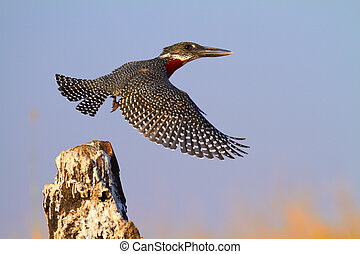 Giant Kingfisher - The lesser seen Giant Kingfisher male (...