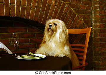 The Lhasa Apso (lha-sah ap-so) is a non-sporting dog breed...