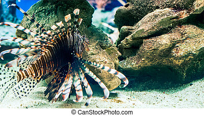 the lion-fish