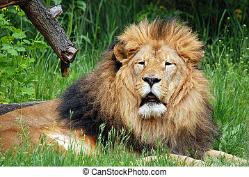 The lion is one of the four big cats in the genus Panthera, ...