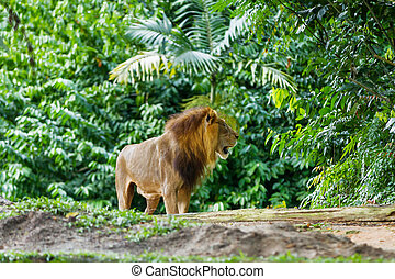 The lion (Panthera leo) in jungle forest.