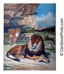 The Lion, vintage engraving.