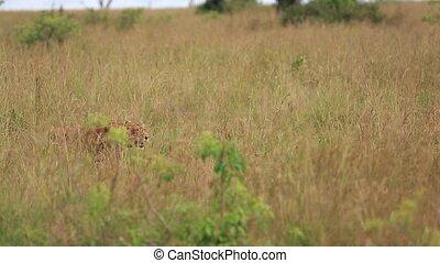 the lioness hunts in the African Savannah. Safari in Uganda