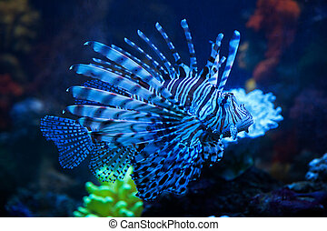 The lionfish in the aquarium - The blue lionfish in the sea ...