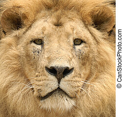 The lion\'s majestic gaze - Closeup of a beautiful lion\'s...