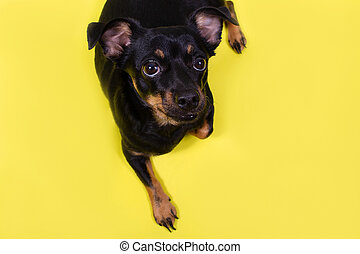little black dog on a yellow background