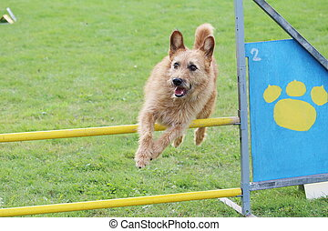 little brown dog jumps the obstacles of agility contest