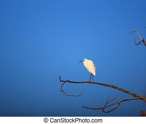 Little Egret - The Little Egret (Egretta garzetta), small ...