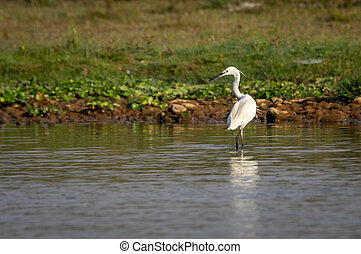 Little Egret or Egretta garzetta - The Little Egret or ...
