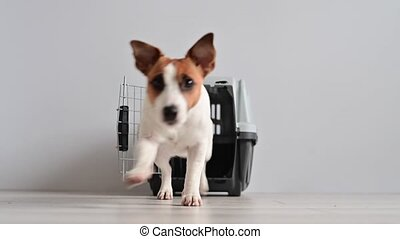 The little Jack Russell Terrier dog comes out of the cage ...