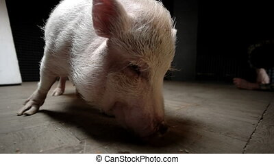 The little pig is eating. She picks the crumbs off the...
