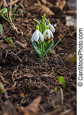 The little white snowdrops growing in early spring