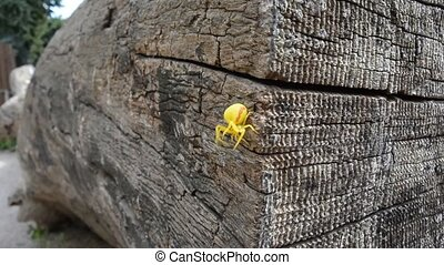 The little yellow spider,Butterfly hunter. - Spider scurry,...