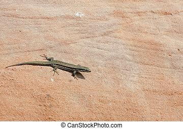 the lizard in the sun