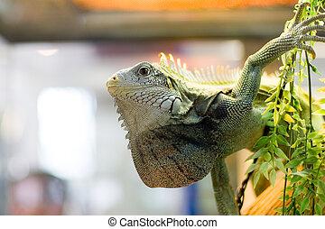 the lizard in the zoo