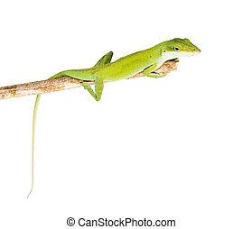 The lizard Northern Green Anole (Anolis carolinensis...