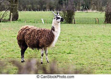 Llama - The Llama is very similar in appearance to the ...