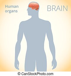 the location of the brain in the body, the human nervous system