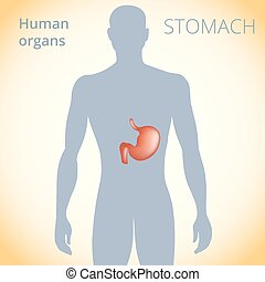 the location of the stomach in the body, the human digestive system