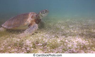 the loggerhead turtle filmed underwater in mexico