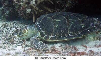 the loggerhead turtle filmed underwater whilst scuba diving...