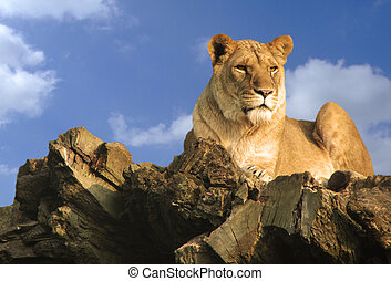 Lion resting on a fallen tree with a blue sky and room for text