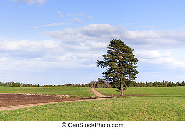 The lonely pine tree on a meadow