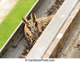 The long-eared owl Asio otus . The long-eared owl female hatches on eggs in gutter. Bird in the nature habitat. Close-up