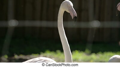 The long neck and big black beak of the flamingoes. Flamingos or flamingoes are a type of wading bird in the genus Phoenicopterus the only genus in the family Phoenicopteridae.