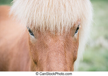 Icelandic horse - The look of an Icelandic horse