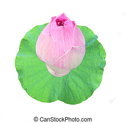 the lotus and lotus leaf green on white background