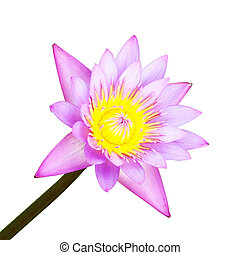 the lotus blooming on white background