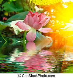 lotus - the lotus in the sunshine with it's reflection...