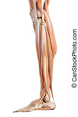 The lower leg muscles