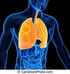 the lung - medical 3d illustration of the lung