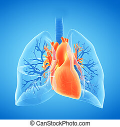 the lungs and heart