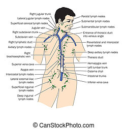 The lymph system - Lymphatic system - labeled