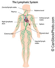 Anatomy of human lymphatic system with main structures labeled